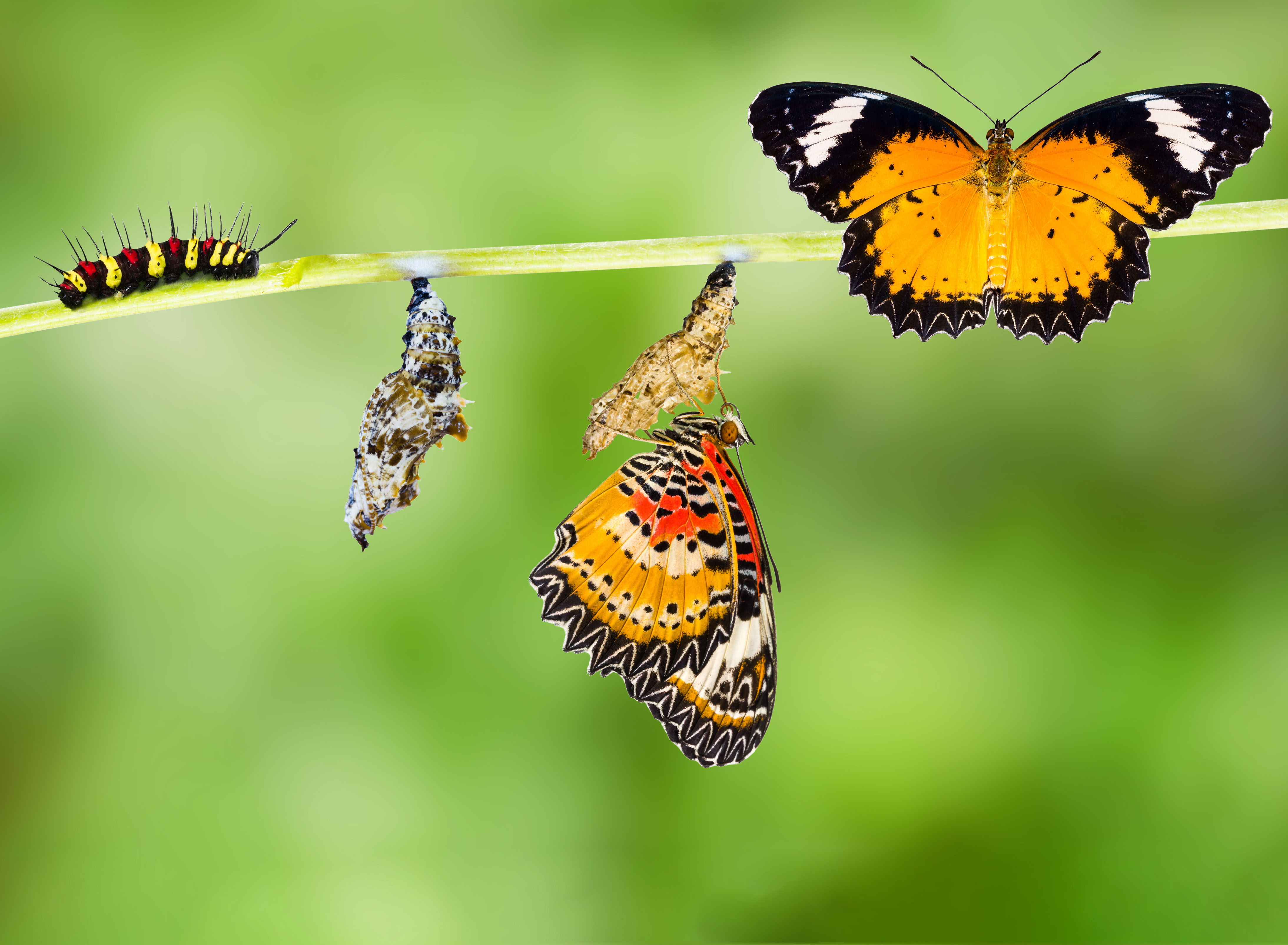 Male Leopard lacewing (Cethosia cyane euanthes) butterfly , caterpillar, pupa and emerging